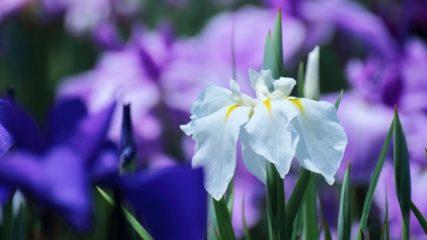花菖蒲とアジサイが名物!「加茂荘花鳥園」は究極の癒しスポット!