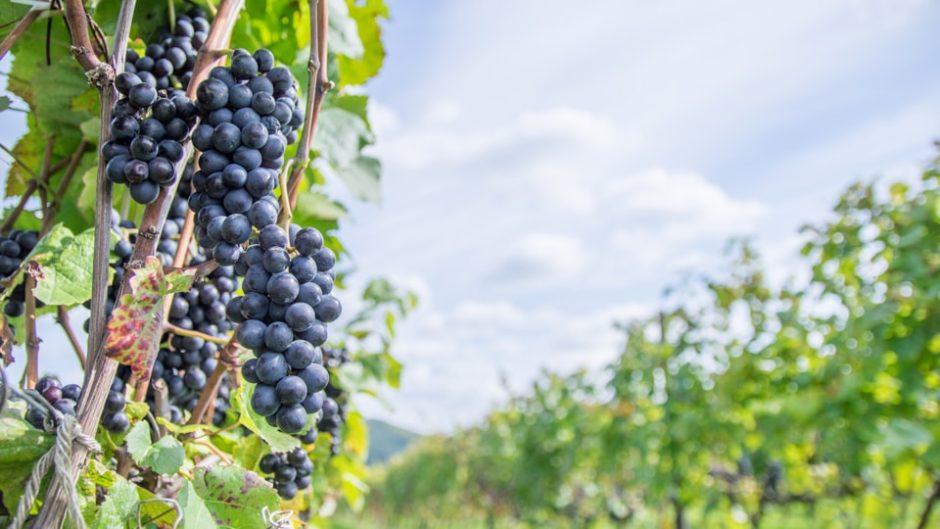 愛情を込めて育てたワインが味わえる「小牧ワイナリー」