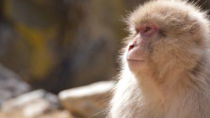 2020年5月7日にリニューアル!猿の楽園「波勝崎モンキーベイ」