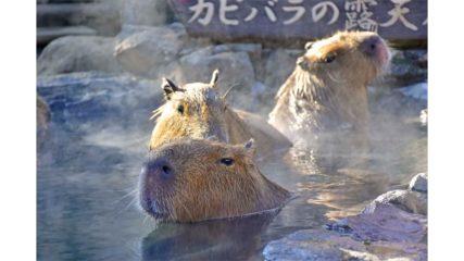 伊豆シャボテン動物公園で「元祖カピバラの露天風呂」開催