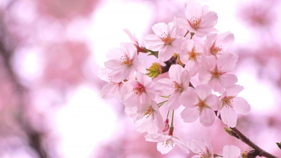 あたみ桜糸川桜まつり