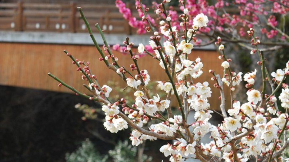 早咲きの梅が楽しめる「第77回 熱海梅園梅まつり」